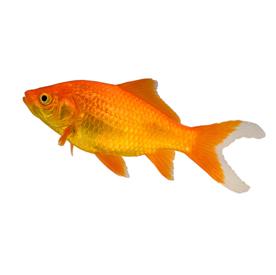 Goldfish & Pond Fish