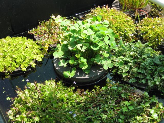 Pond plants wa koi for Koi pond plants